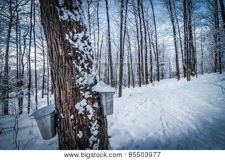 Maple syrup forest in late winter.