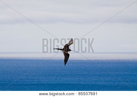 Black bird flying in Frigatebird Hill, Galapagos