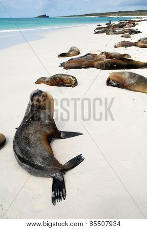 Beautiful peaceful sea lions sunbathing in a beach at the Galapagos Islands