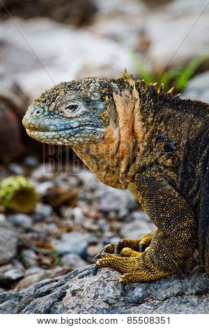 Portrait of a marine iguana in the Galapagos Islands
