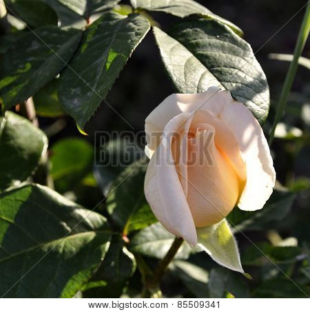 Bud of rose