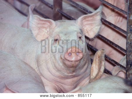 Confined Pig