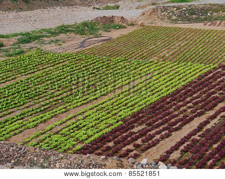 Agriculture on the island Fuerteventura