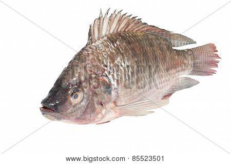 fresh tilapia fishesb