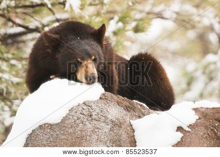 Resting Black Bear