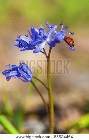Single Ladybug On Violet Bellflowers In Spring