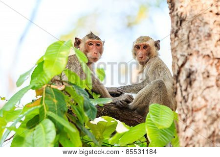 Monkeys (crab-eating Macaque) On Tree In Thailand
