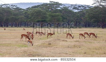 antelopes on a background of grass
