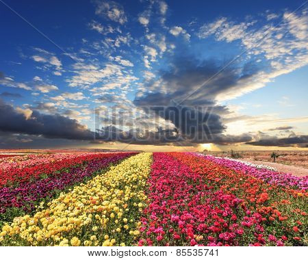 Spring cloud illuminated by the sunset. Buttercups blooming garden. Farmers field with flowers grown for export sales
