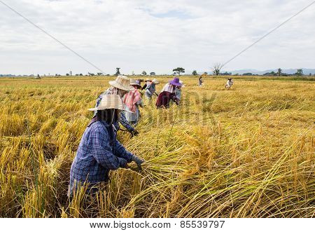 Farmer Harvesting Rice