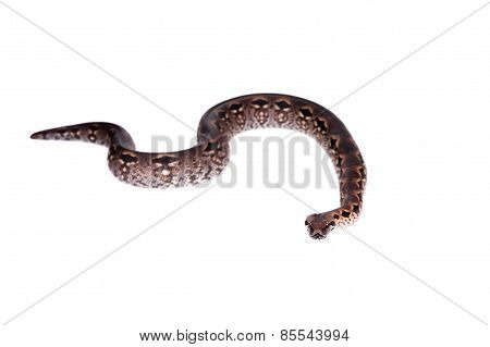 Madagascar or Malagasy ground boa on white