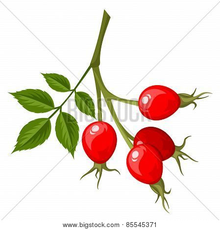 Rosehip branch. Vector illustration.