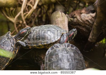 Three terrapin turtles in nature