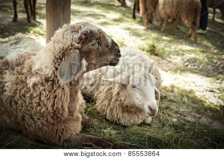 Sheep Lying