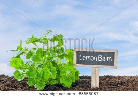 Lemon Balm In The Garden With A Wooden Label