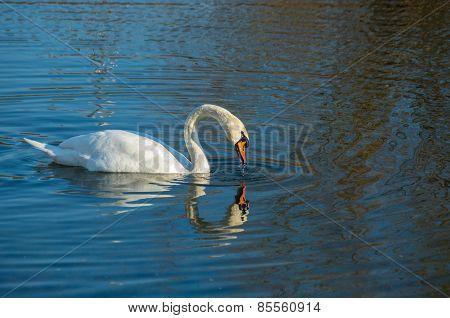 White Swan On Autumnal Blue Pond