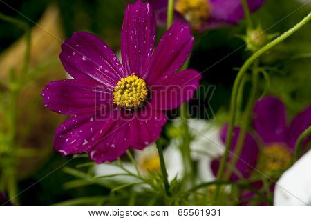 Purple Dragonfly flower