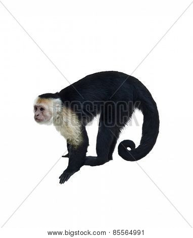 White Throated Capuchin Monkey Isolated  On White Background