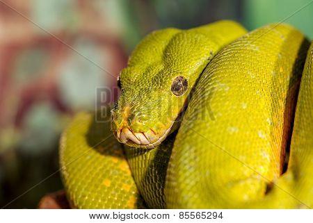 Fantastic Close-up Portrait Green Rattlesnake (poisonous Green Snake). Selective Focus, Shallow Dept