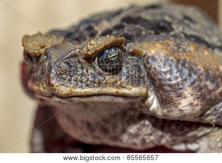 Fantastic Portrait Of Horned Toads Threatening Frog. Selective Focus On The Expressive Eyes, Shallow