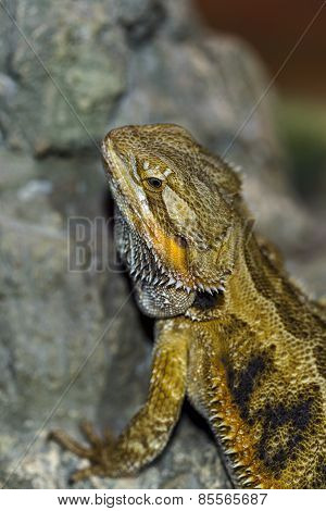 Portrait Of An Exotic Tropical Reptiles Bearded Dragon. Selective Focus, Shallow Depth Of Field.