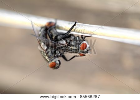 Two Flies Having Sex On A Rope. Macro. Selective Focus, Very Shallow Depth Of Field. Blurred Backgro