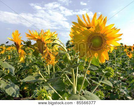 Sunflower Field In Bright Sunlight. Backlit Sunlight