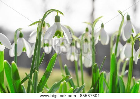 Sunlit Beautiful Blossom Of Snowdros Or Galanthus On Alps Glade