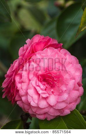 Camellia in full blossom