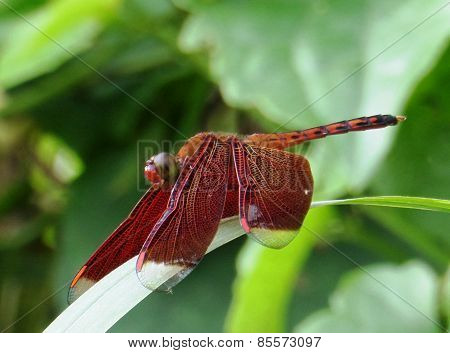 Red Purple Dragonfly
