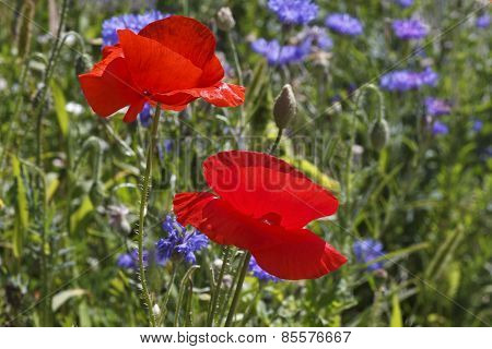Two Red Poppies On Meadow