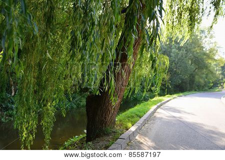 Weeping Willows Along The Stream