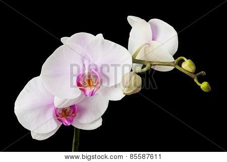 White orchid on black blackbackground