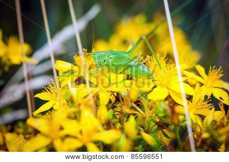 Green Grashopper On Yellow St Johns Flowers