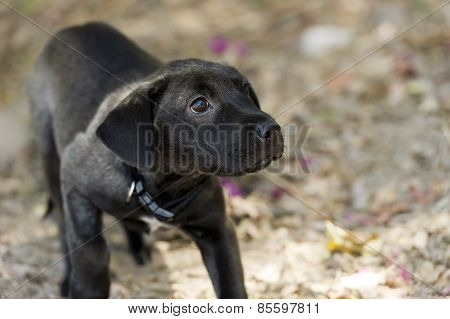 Labrador Puppy Black