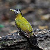 image of woodpecker  - Beautiful female of Grey - JPG