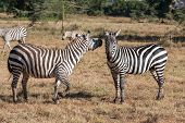 picture of grassland  - two zebras in the grasslands - JPG