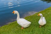 image of baby goose  - goose white with pink beak floating in the lake on a Sunny summer day - JPG