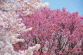 stock photo of sakura  - Sakura or Cherry blossom in Shijuku - JPG
