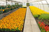 image of convection  - flowers which are growing in a greenhouse in France - JPG