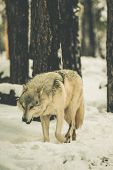 stock photo of white wolf  - Lonely White Wolf in California Sierra Nevada Mountain Forest - JPG