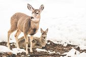 picture of mule  - Young Mule Deers in Winter Season. Northern Arizona United States.