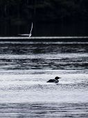 stock photo of loon  - Great northern loon bird swimming as another bird passes by in the sky - JPG