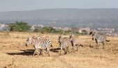 pic of grassland  - The zebras in the grasslands, Africa. Kenya