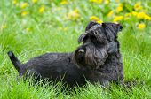 image of schnauzer  - Black Miniature Schnauzer Dog Laying on Grass with Dandelions
