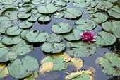 stock photo of lillies  - Purple water lilly - JPG