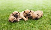 picture of french bulldog puppy  - little sleeping French bulldog puppies lying on a beautiful green grass - JPG