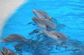 stock photo of bottlenose dolphin  - Funny Dolphins Swimming on a very Blue Water - JPG