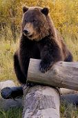 stock photo of grizzly bears  - Bear in the Wild