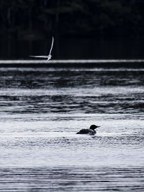 picture of loon  - Great northern loon bird swimming as another bird passes by in the sky - JPG